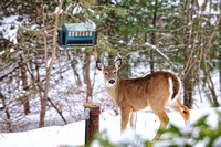 _TDI4126Who me bird feeder deer  Riverhead,NY
